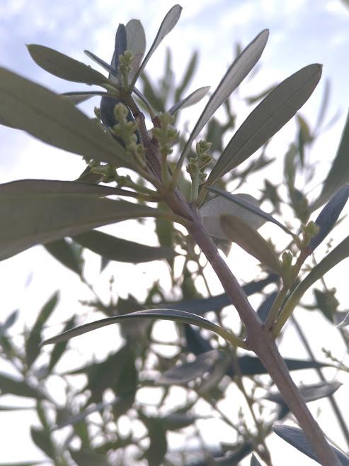 オリーブ 花芽1