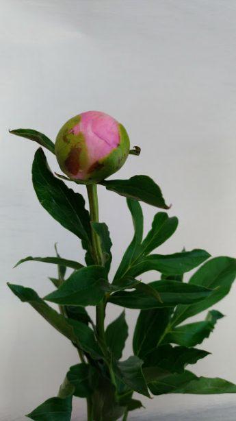 芍薬 1分咲き
