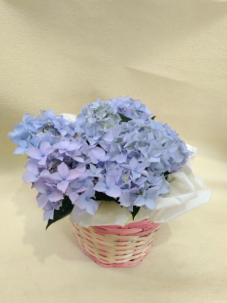 母の日アジサイ1500円+税