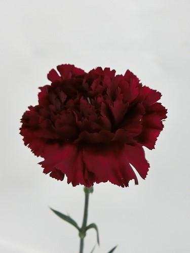カーネーション 濃い赤