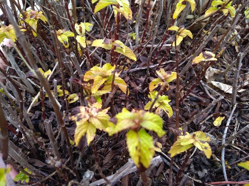 イエルバブエナ 葉っぱが黄色にアップ