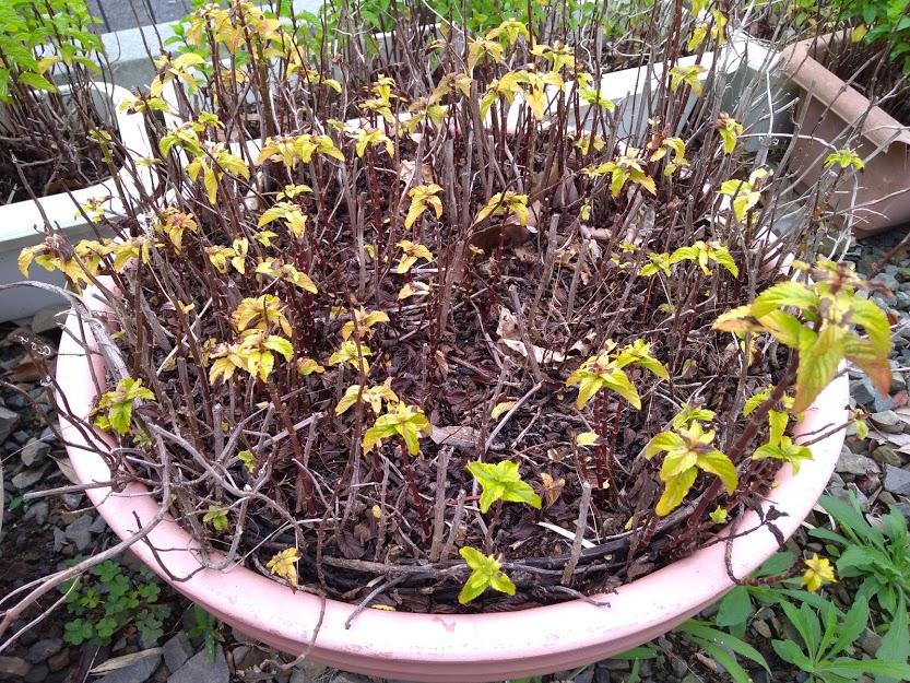 イエルバブエナ 葉っぱが黄色に全体図
