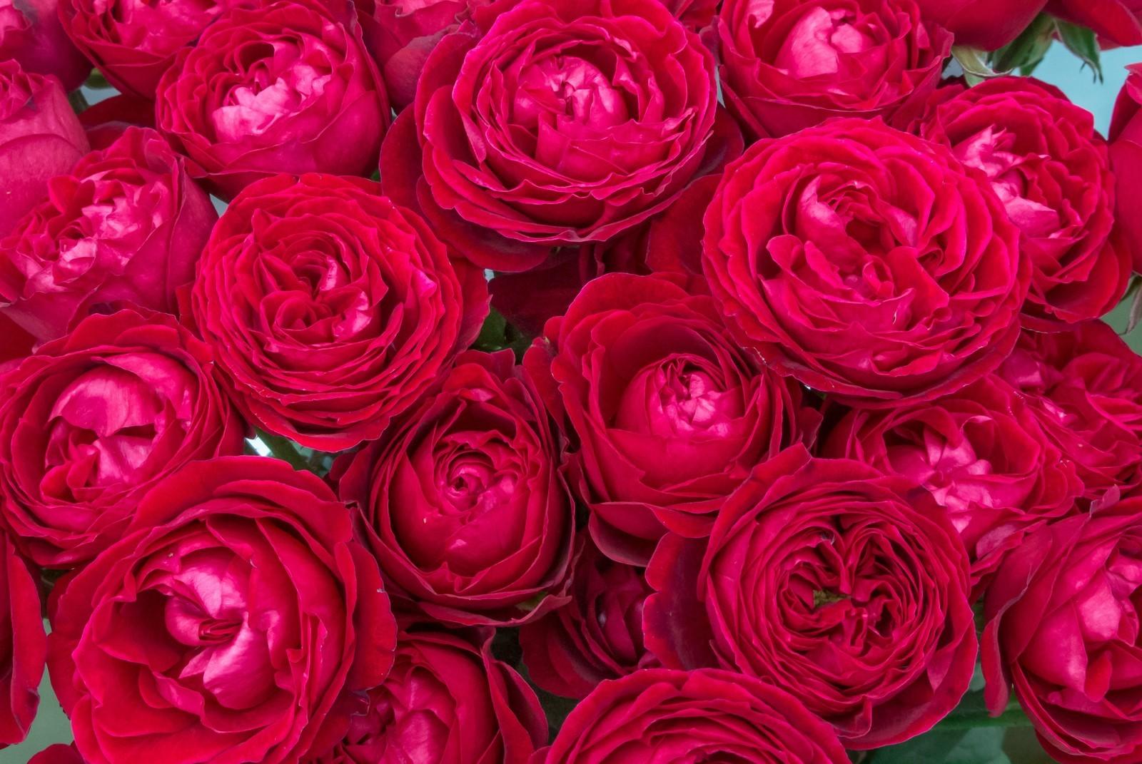 rose 赤1