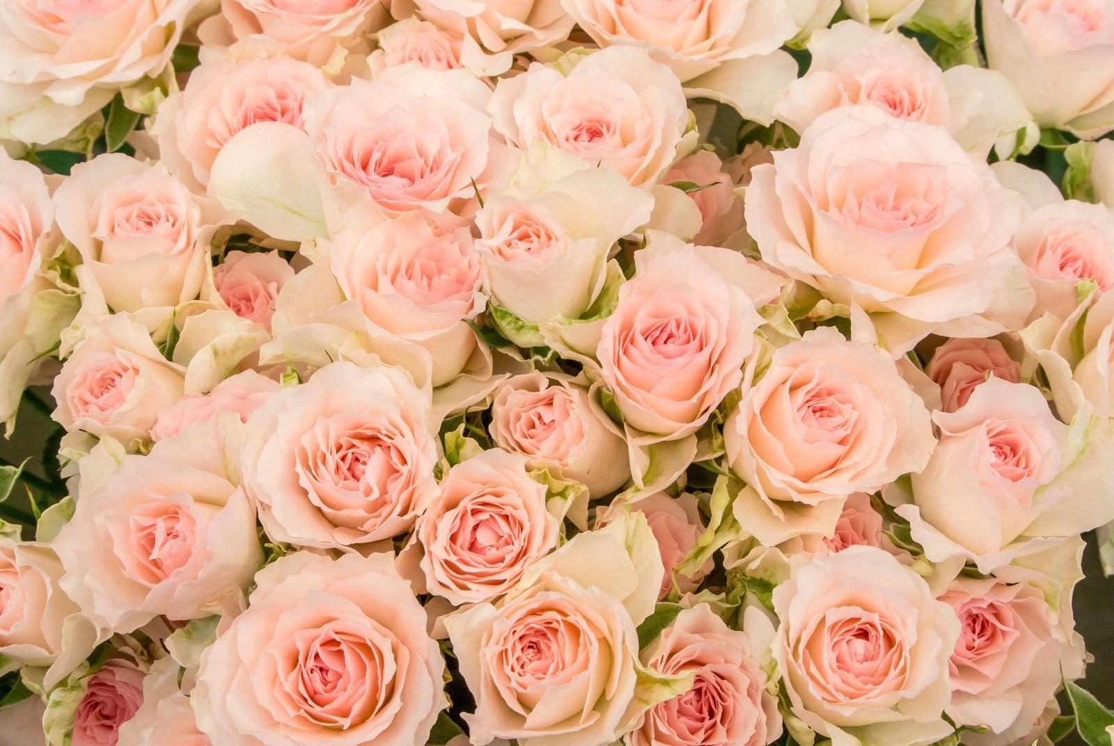 rose薄い ピンク