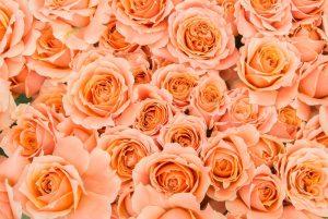 rose オレンジ