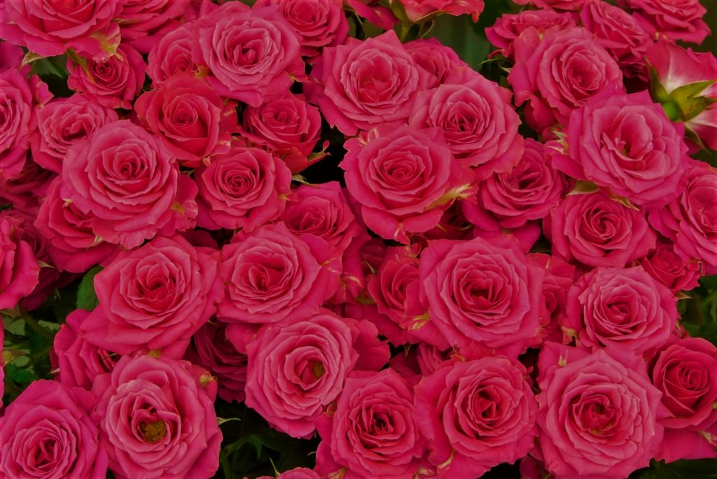 rose 濃いピンク