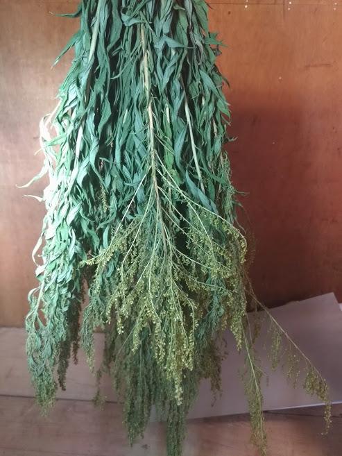 セイタカアワダチソウ 乾燥