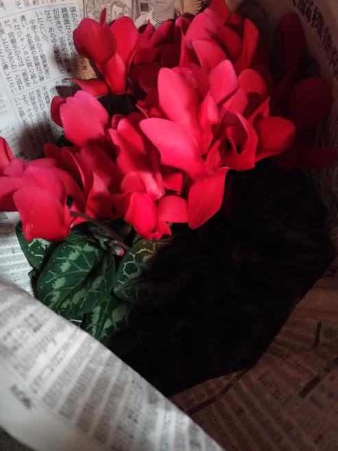 シクラメンの花を真ん中に集める