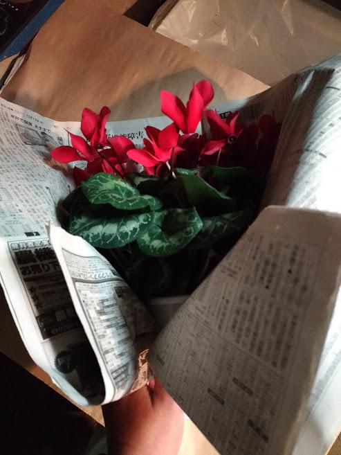 葉っぱを持ち上げるようにシクラメン新聞紙でまく