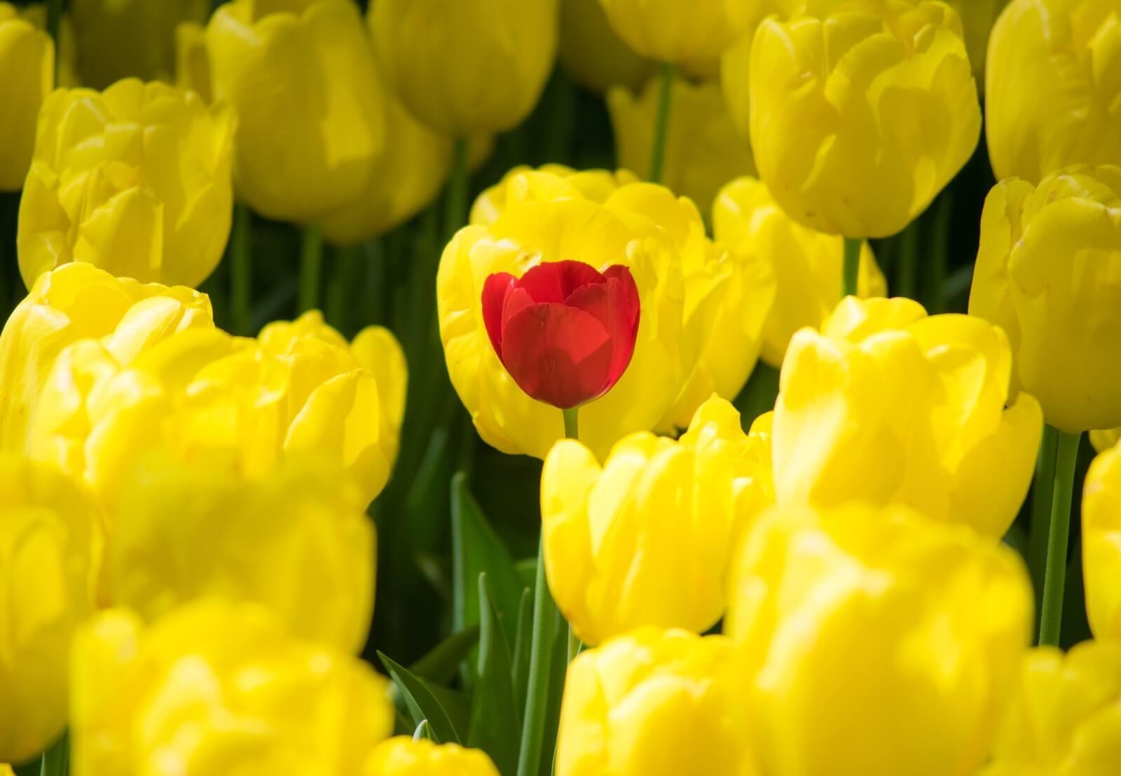 チューリップ黄の中に赤