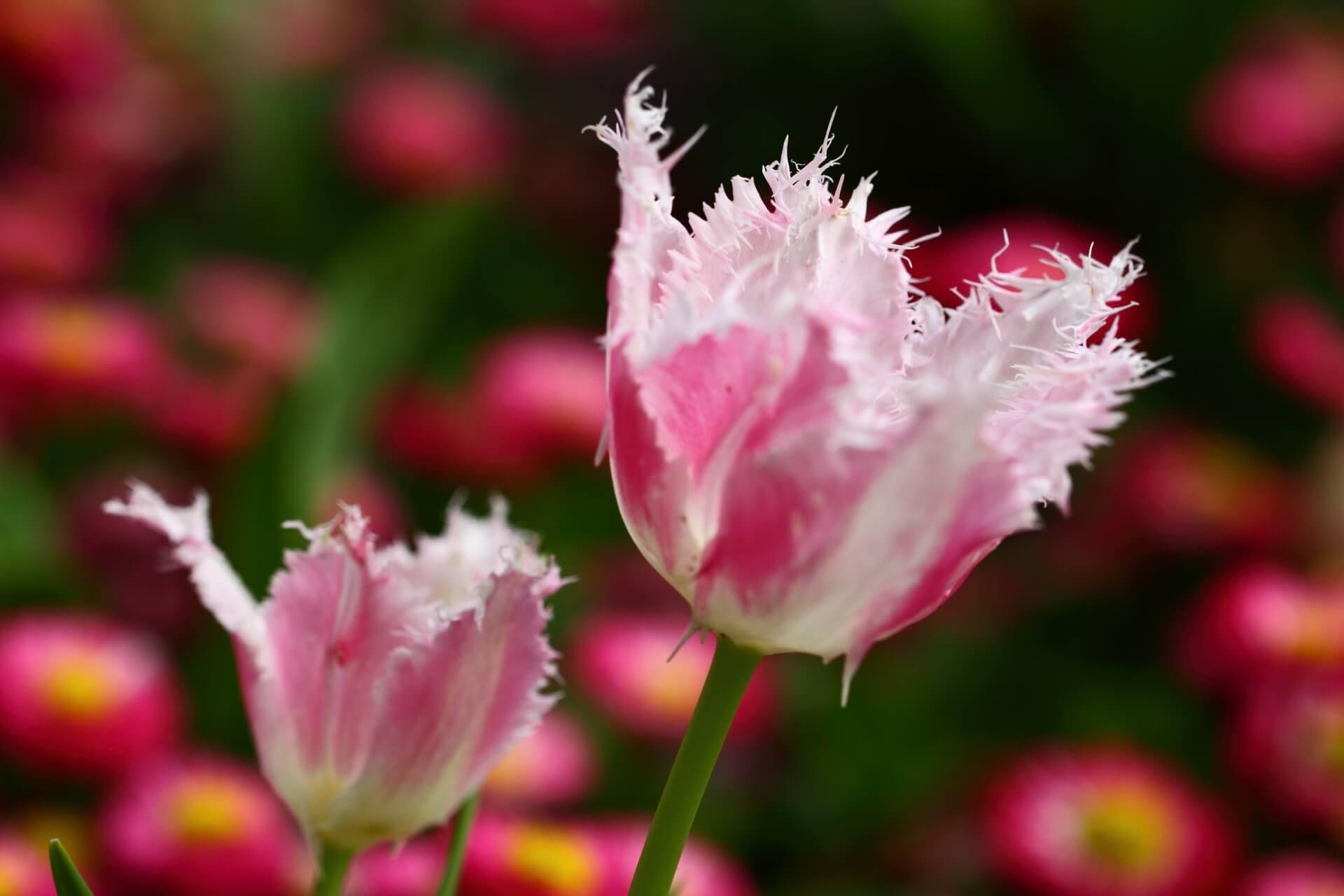 チューリップフリンジ咲き
