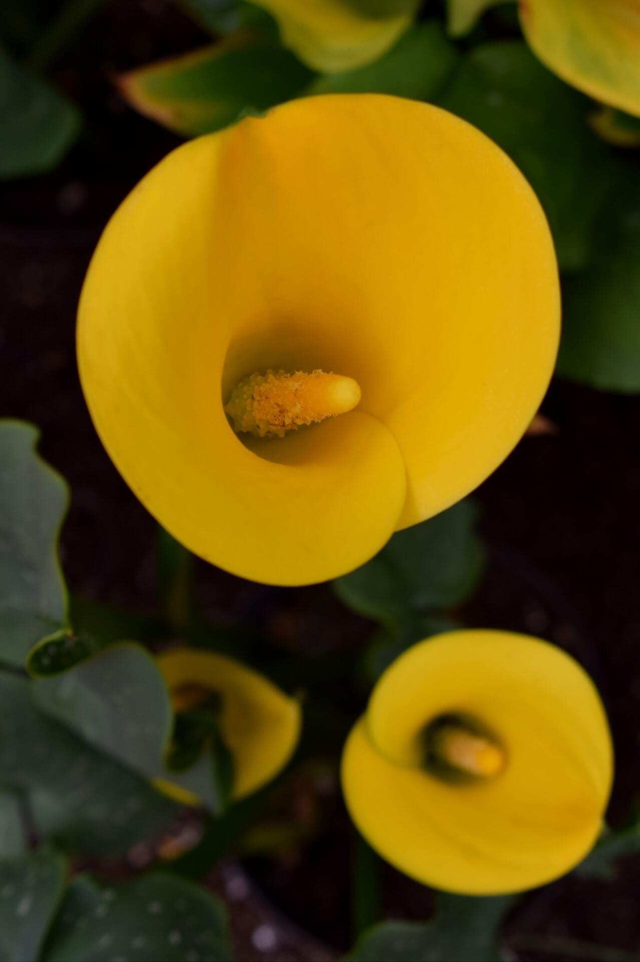 カラー 黄