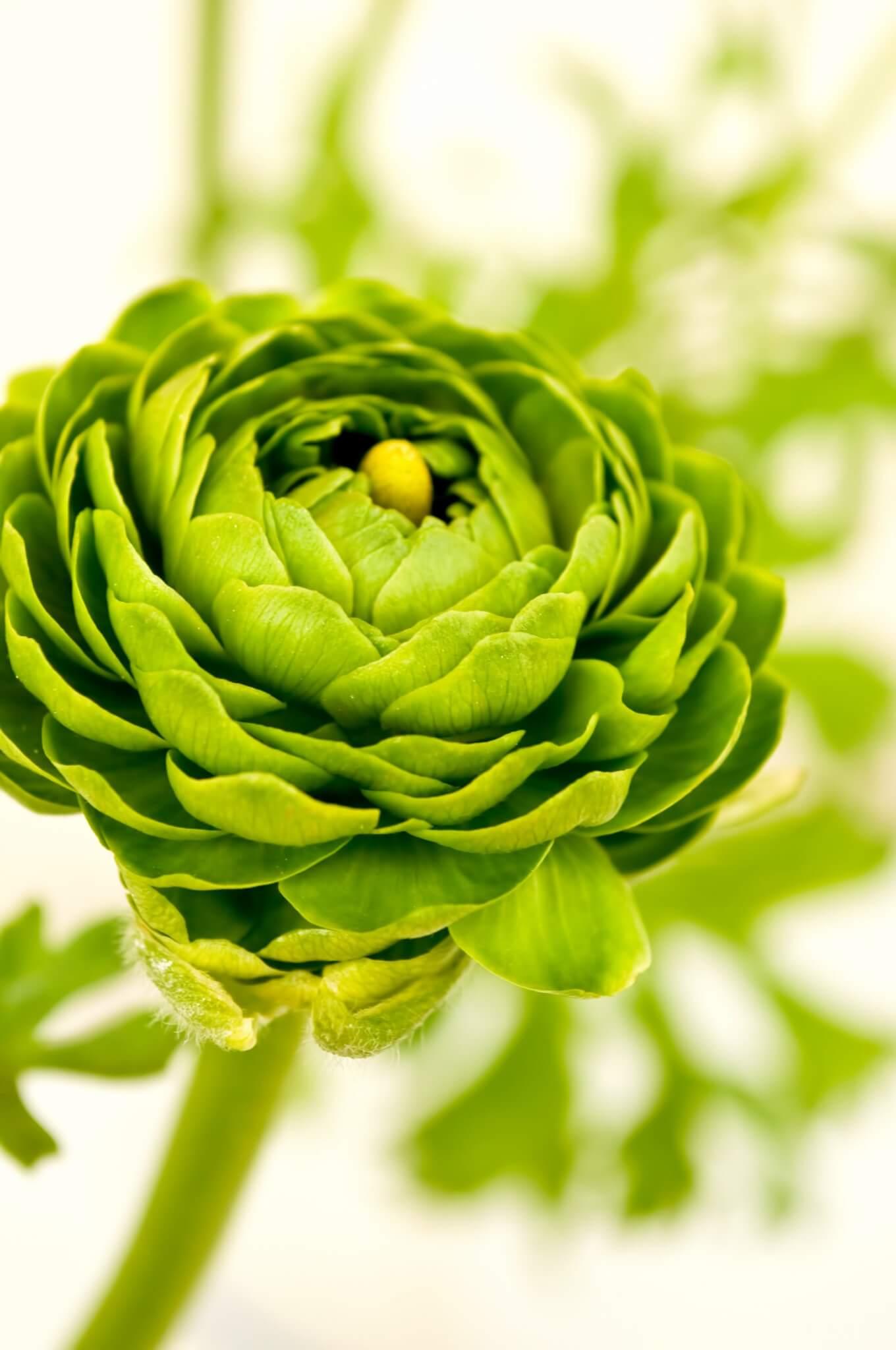 ラナンキュラス 緑