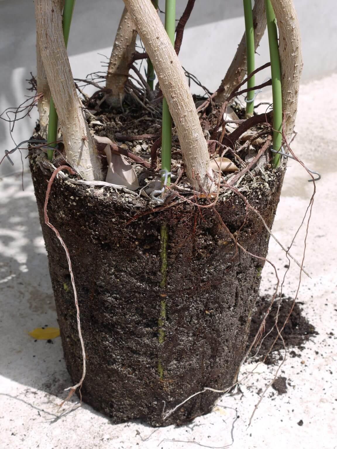 鉢から外した植物
