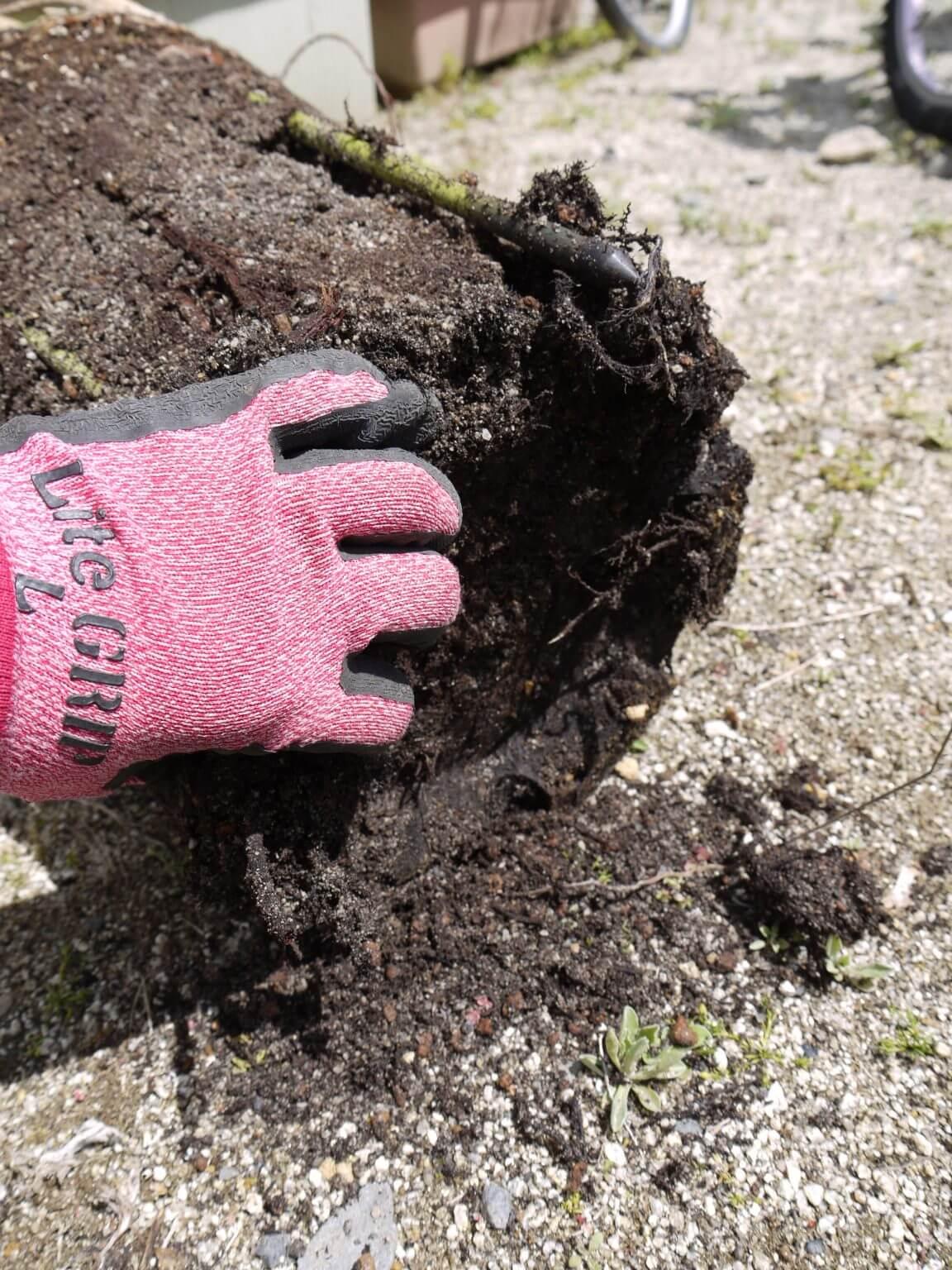 鉢底の土を少し取る