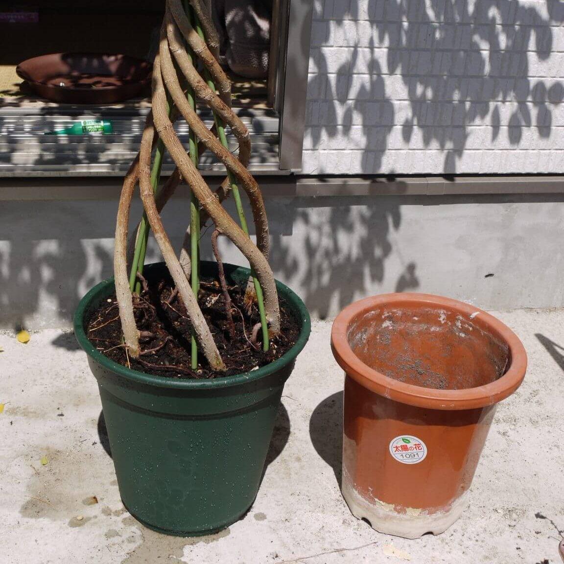 ひと回り大きな鉢に植え替え