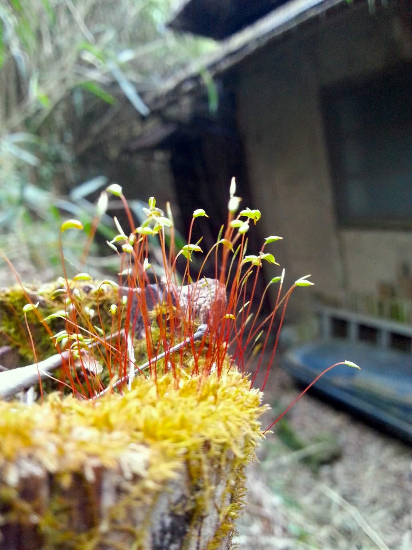 苔の胞子体