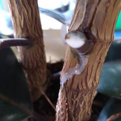 ゴムの木 樹液