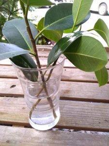 フランスゴムの木 挿し木の前に水につける