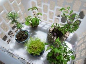 色々なミニ盆栽