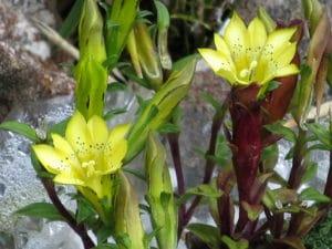 黄色いリンドウ