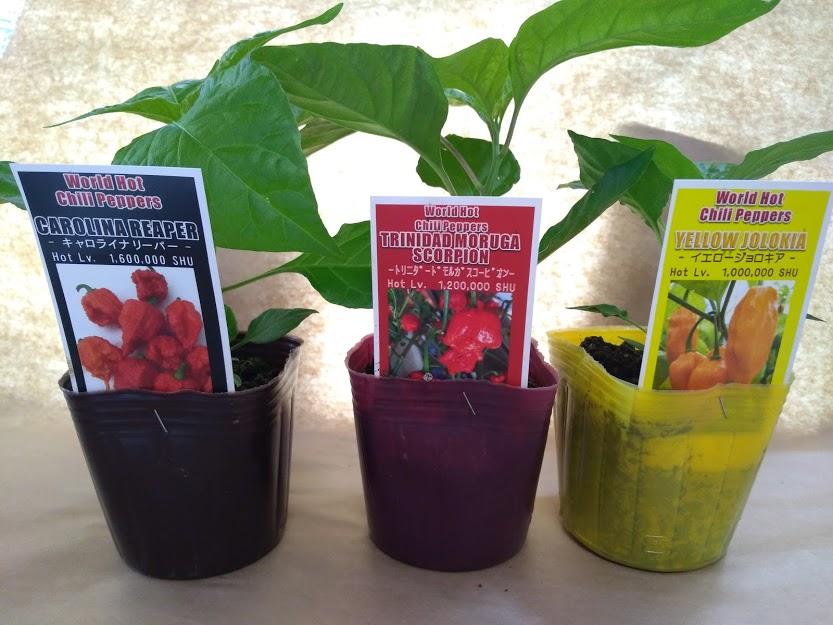 激辛トウガラシの栽培1