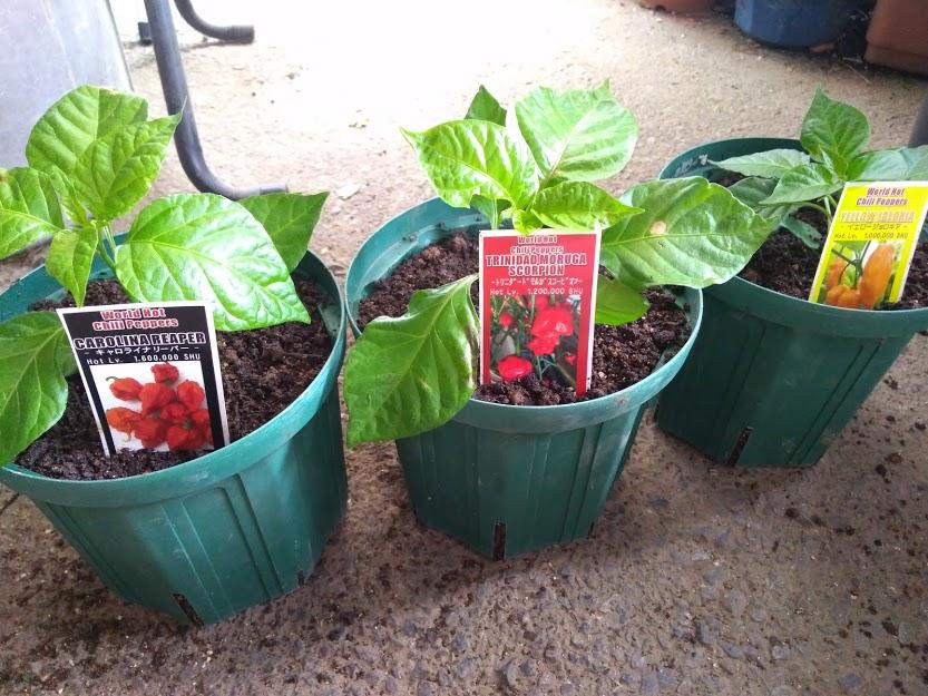 激辛トウガラシの栽培3