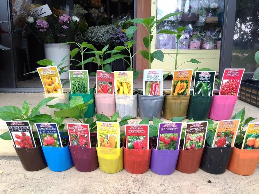 激辛トウガラシの苗たち