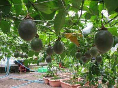 パッションフルーツの栽培1