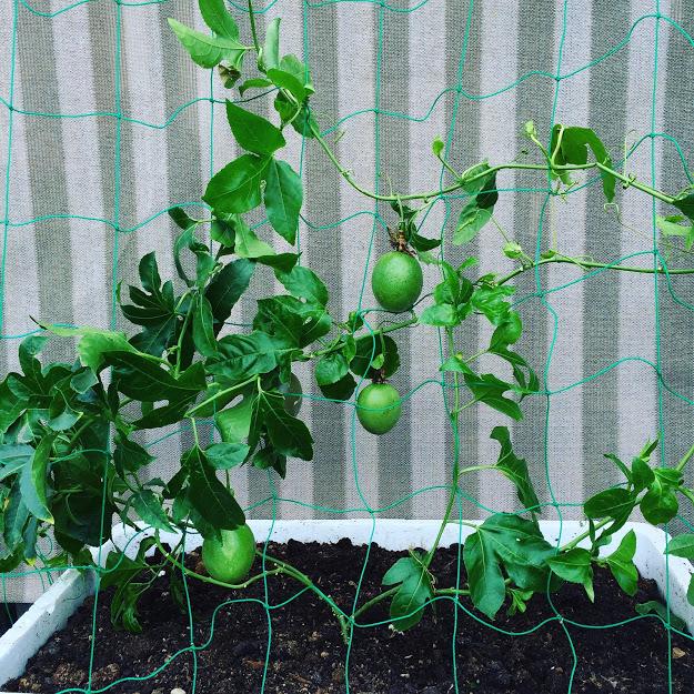 パッションフルーツの栽培