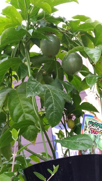 パッションフルーツの鉢植え1