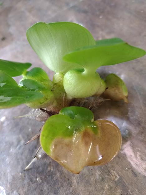 ミニホテイアオイの葉っぱが腐ってきた