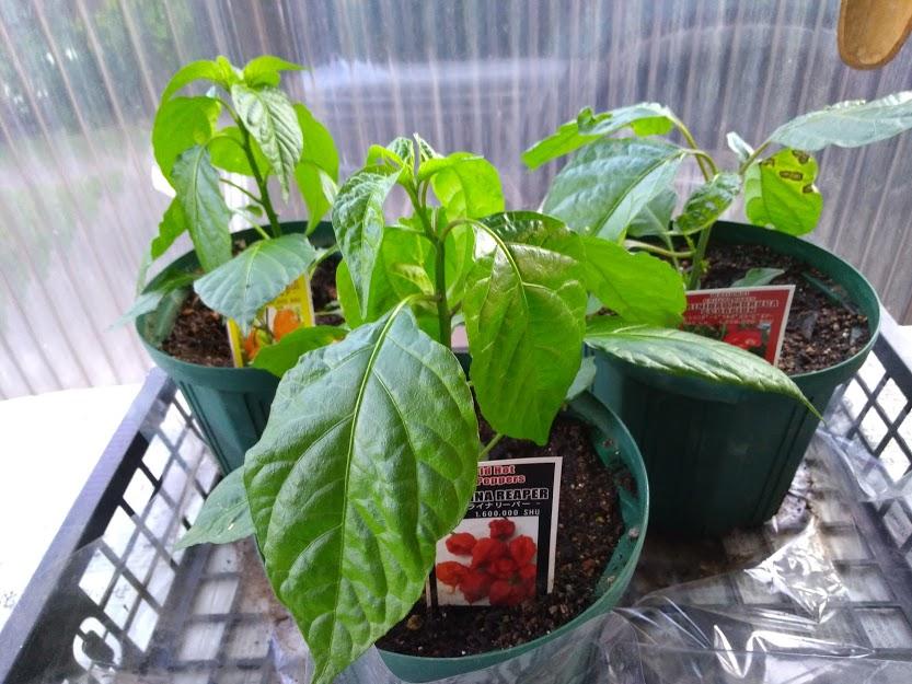 激辛トウガラシの栽培5