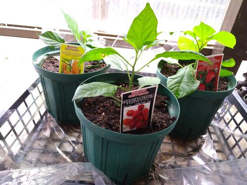 激辛トウガラシの栽培4