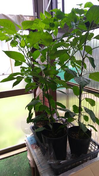 激辛トウガラシの栽培6